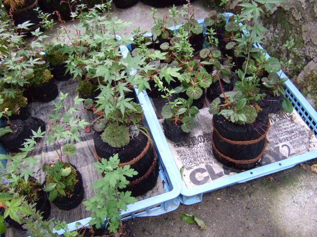 炭の鉢に近くの谷のコケを敷き詰め山野草を寄せ植えしています。