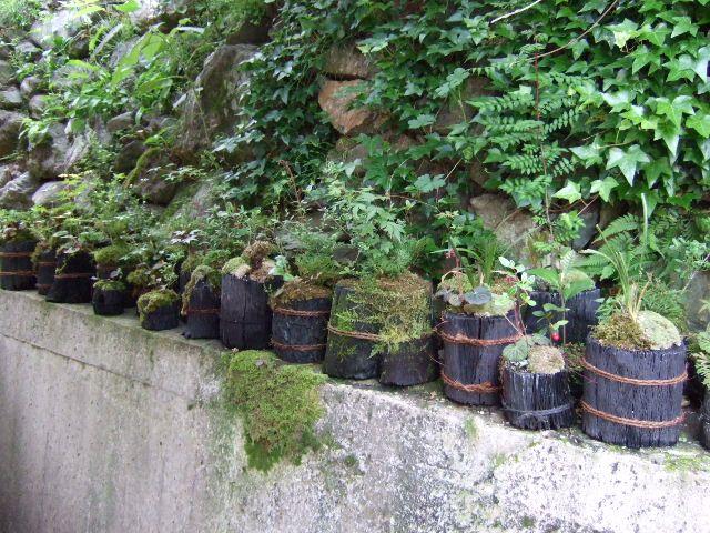 炭の鉢に山のコケを敷き詰め山野草を寄せ植えしています。