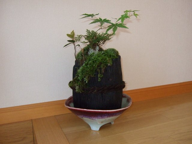 炭の鉢に清流の岩に生えたコケを敷き詰め山野草を寄せ植えしています。玄関 ホールにディスプレー