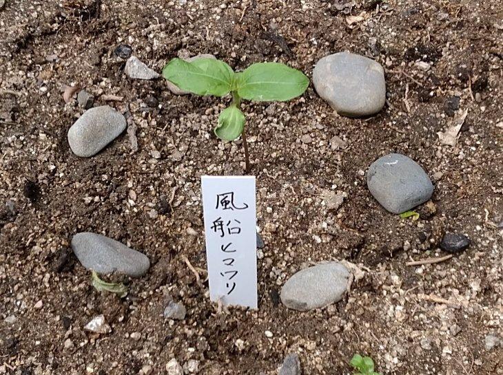 福岡県古賀市小野小学校から飛んできたヒマワリの芽