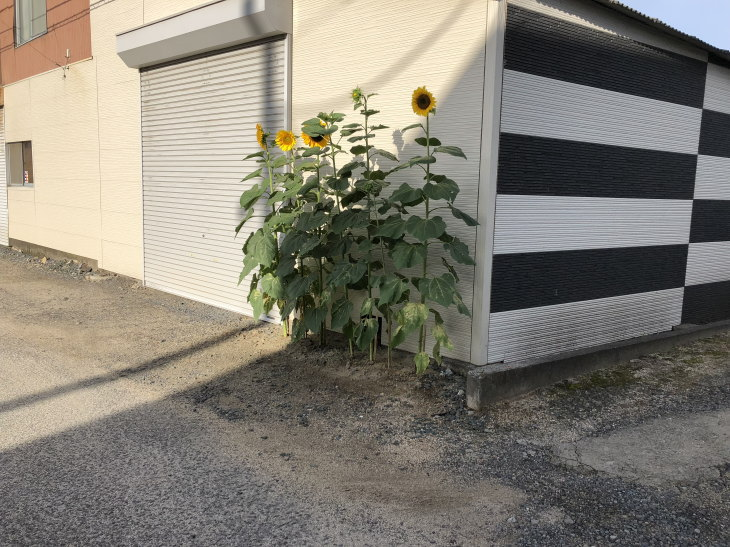 福岡県古賀市小野小学校から届いた人権の花ヒマワリ満開