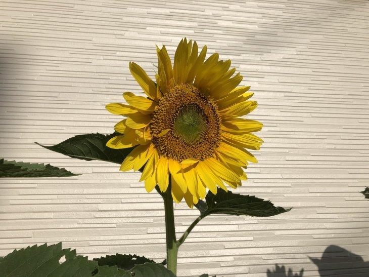 福岡県古賀市立小野小学校から届いたヒマワリの種から開花
