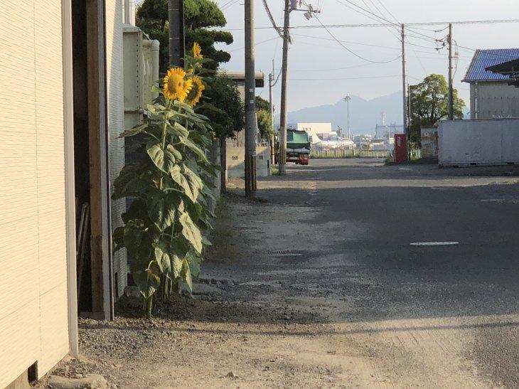 福岡県古賀市立小野小学校から風船で届いたヒマワリと松山空港