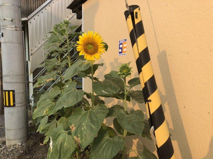 福岡県古賀市立小野小学校から届いたヒマワリが無事開花