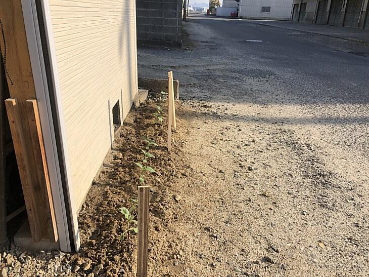 風船ヒマワリ二代目を花壇に植え替え
