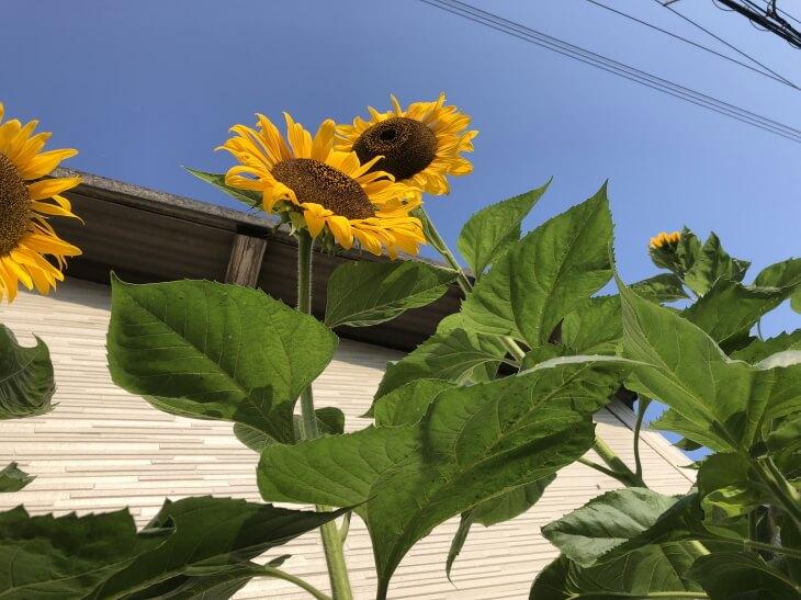 風船で飛来したヒマワリの種から開花