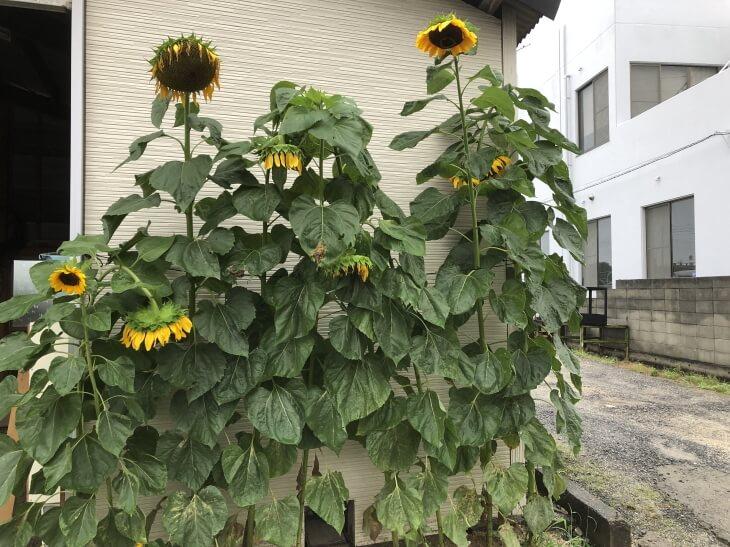 風船ヒマワリ 松山市で開花