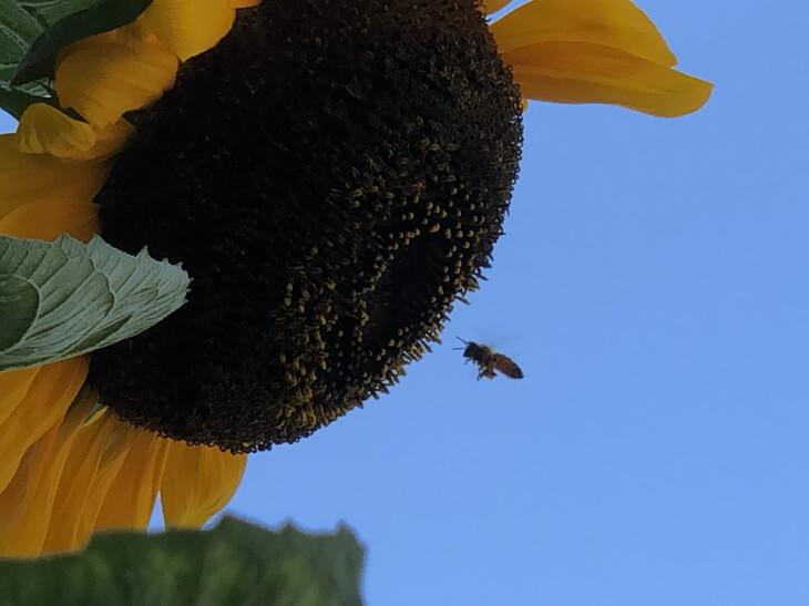 風船ヒマワリにミツバチが来た